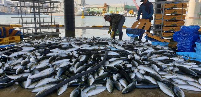 ▲ 가을 하늘이 청명한 7일 삼척항 물양장에서 어업인들이 입찰받은 마래미(방어새끼)를 상자에 분류하는 작업을 하고 있다. 구정민