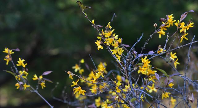 ▲ 겨울이 시작되는 입동인 8일 춘천시 느랏재 정상에 철 지난 개나리가 꽃망울을 활짝 터트렸다.  서영