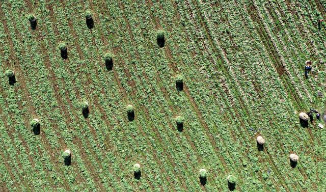 ▲ 첫눈이 내린다는 절기 소설(小雪)을 나흘 앞 둔 18일 춘천 서면에서 농민들이 단무지용 무 수확을 서두르고 있다.     최유진