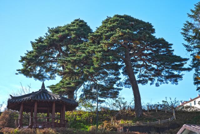 ▲ 고성 간성읍성터 위 소나무 2그루가 '삿갓소나무'로 확인돼 고성군이 보호사업 추진에 나섰다.