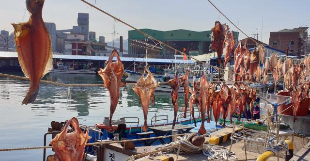 ▲ 도내지역에 한때 한파주의보가 내려진 19일 삼척항 주변 도로변으로 어업인들이 내걸은 생선들이 햇볕을 받으며 말라가고 있다. 구정민