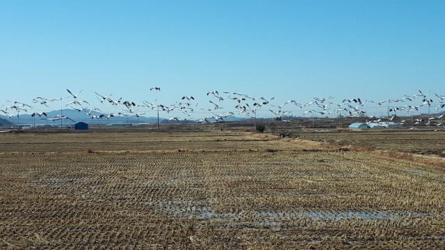 ▲ 철원평야를 찾은 두루미가 수십마리씩 떼지어 날며 색다른 장관을 연출하고 있다.
