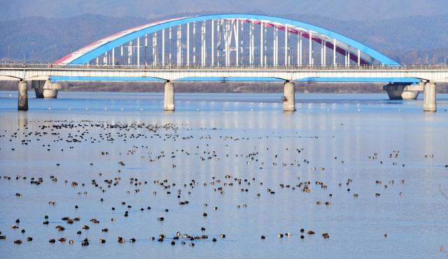 ▲ 22일 춘천 소양강에 천둥오리와 흰뺨검둥오리 등 겨울철새가 수면위로 무리지어 있다.   최유진