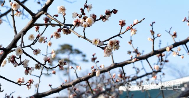 ▲ 10일 강릉시 오죽헌·시립박물관 매화가 꽃망울을 터트렸다. 이연제