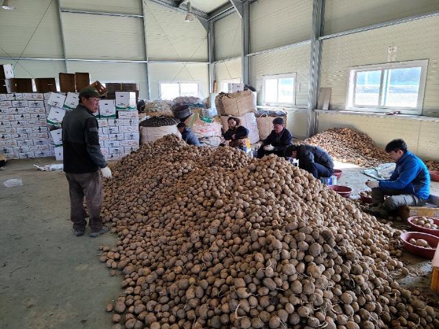 ▲ 인제군농업기술센터 직원들은 24일 코로나19로 일손난을 겪고 있는 감자 재배농가에서 일손돕기를 실시했다.