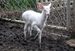 흰사슴 화제