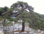 [숲에 on] 1. 태백산 천제단과 웅녀소나무 전설