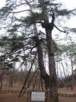 [숲에 on] 7. 청령포 관음송과 금표비