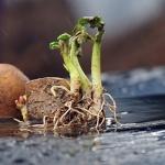 단비로 목축이는 감자싹