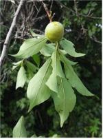 국내 미기록종 자두나무 자생지 양구∼인제 대암산 일대서 발견