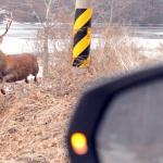 사냥개에 쫓기는 수사슴