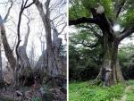 설악산 피나무 둘레 11.13m, 국내 최대
