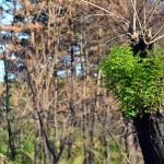 화마 지나간 자리 새살 돋는 나무들