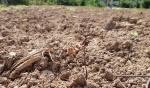 화천 극심한 가뭄에 농작물 생육 부진