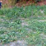 폭염·가뭄에 수확 포기 속출