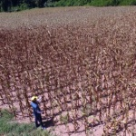 '폭염 한풀 꺾여도'…홍천 옥수수 말라 출하 포기 속출