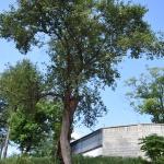 수령 300년 이상 추정 돌배나무 홍천서 발견