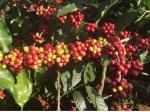 이슬람 성지서 몰래 가져온 커피 씨앗, 세계로 흘러가다