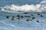 겨울 강릉 바다는 철새들 낙원