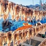 해풍에 건조되는 오징어