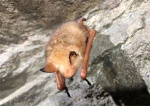'황금박쥐' 인제 서식 첫 확인