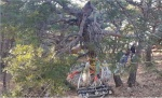 고성 수령 200년 이상 소나무 훔친 일당 입건