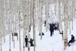 인제 자작나무숲 개방기간 연장