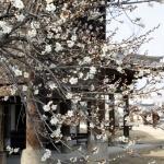 봄 마중나온 매화꽃