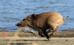 숭어 물고 달리는 멧돼지