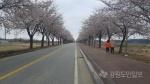 양양남대천 둔치길 벚꽃 만개