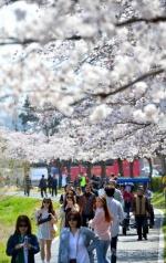 벚꽃터널 지나 꽃비 맞는 경포의 봄
