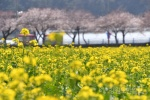 '푸른바다 노란물결' 유채꽃축제 개막