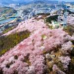 봉황 앉았다 간 벚·꽃·대·궐