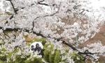 봄비 속 벚꽃 만개