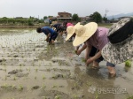 춘천 농업인단체 통일 모내기 체험