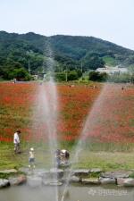 원주 용수골 꽃양귀비 축제