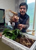 인제 대암산서 50~70년 추정 산삼 7뿌리 채취