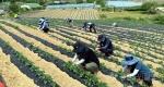 인제 기린농협 영농봉사활동