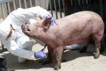 ASF 막아라…돼지 채혈하는 방역 관계자
