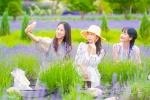 고성 하늬팜 라벤더 축제 개최