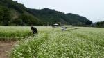 강촌 주민이 직접 만든 '대규모 메밀꽃밭' 보러오세요