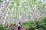 여름향기 품은 자작나무숲