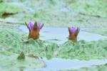 경포 습지 '가시연꽃' 개화, 꽃잔치 시작