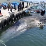 고성, 거진 앞바다서 발견된 죽은 향고래