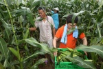 정선 여름철 대표 농산물 찰옥수수 출하