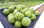 화천산 애플수박 농가소득 효자노릇