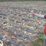 고랭지 채소 가격폭락 정부 대책 주목