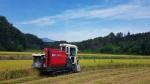 속초 첫 벼수확