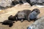 경포아쿠아리움 수달 새끼 3마리 이례적 출산