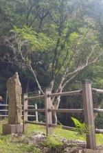 '국내 최대' 홍천 무궁화 나무 고사 위기